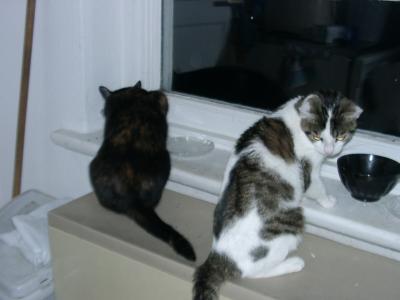 Katzen beim gemeinsamen Essen