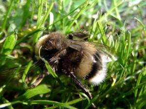 Honigbiene, die im Gras herumkrabbelt